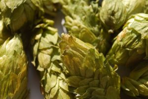 HOPS SELECTIONA wide range of hop varieties grown in Poland and activity in the search for new varieties attractive for breweries.